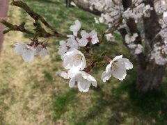 150412三峰川桜2