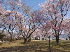 150406春日公園桜-昨年02