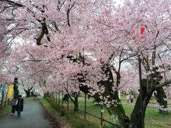 150406伊那公園桜02