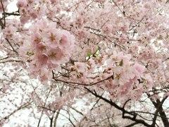 150406伊那公園桜01