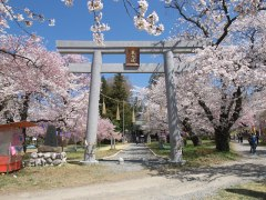 150406伊那公園桜-昨年01