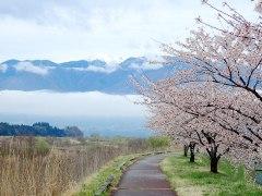 160414三峰川桜03