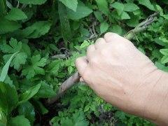 160525ハチク収穫03