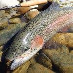 久しぶりにトラウトを釣る|犀川 フライフィッシング