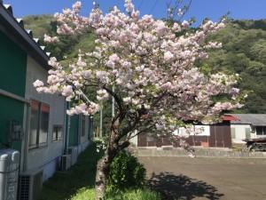 SakuraMiyoshi