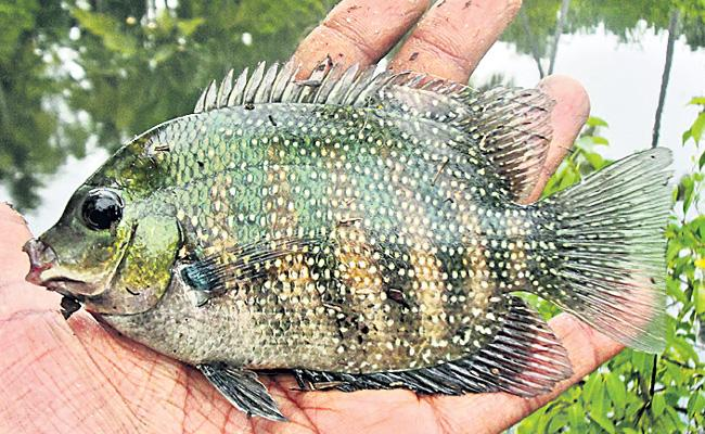 MPEDA comes to aid production of Kerala most popular fish - Sakshi