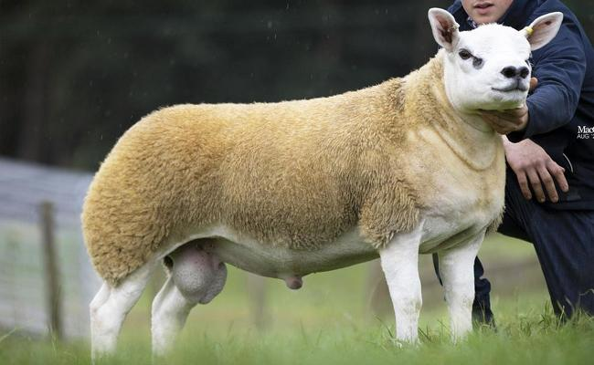 Double Diamond Most Expensive Sheep In The World - Sakshi