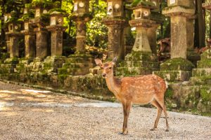 deer from rural japan area nara