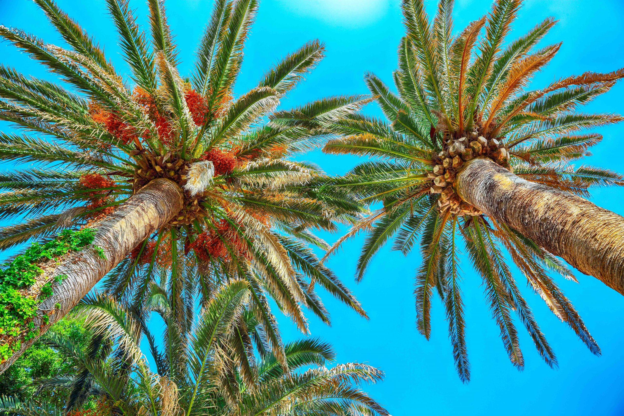 View of date palm on tree from below