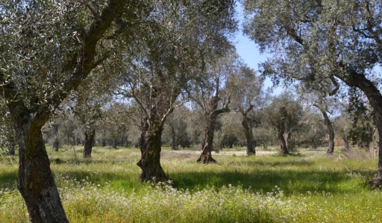 uliv-uliveto-paduli-codiro-xylella