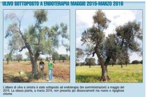ulivo rigenerato cura scortichini xylella CoDiRO
