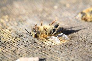 moria api - documento scientifico contro decreto martina - xylella - codiro