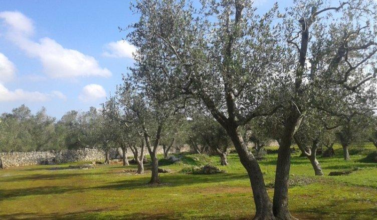 Campo sperimentale 'La Scelta' - ulivi - uliveto - xylella