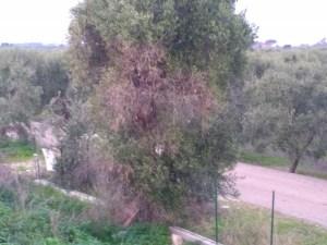 ulivo con disseccamento bari giovinazzo - xylella codiro