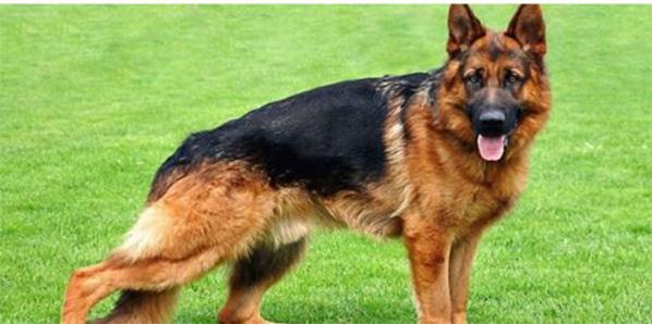 cane grisù difende famiglia da rapina - condannato a morte da giudice di pace