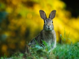 A rabbit. Image credit: Pixabay.
