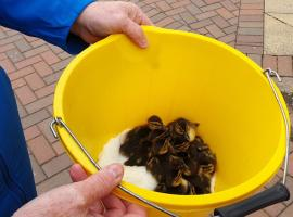 Salford resident helps ducklings escape ninth floor balcony