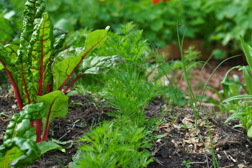 carrots and chard