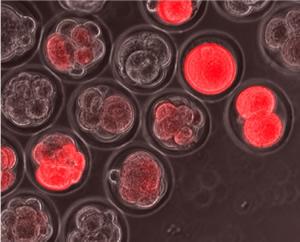 red fluorescent reporter molecules