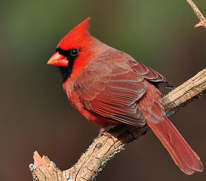 Northern_cardinal_1