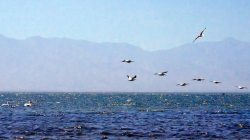 Picture of seagulls flying along the short at Salton Sea