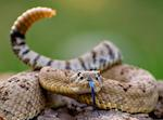 Picture of a rattlesnake