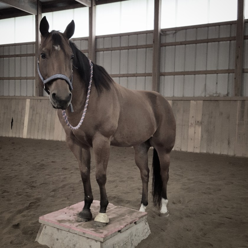Quarterhorse standing with two front feet on a block