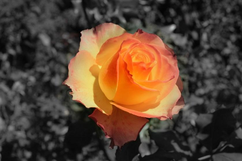 blooming orange rose