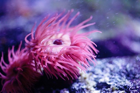 https://i1.wp.com/www.saltwater-aquarium-online-guide.com/image-files/pink_anemone.jpg