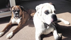 sunbathing boxer dogs