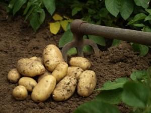 Patatas: conoce sus usos y beneficios para aprovecharlas al máximo