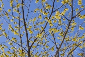Hamamelis. Remedios florales