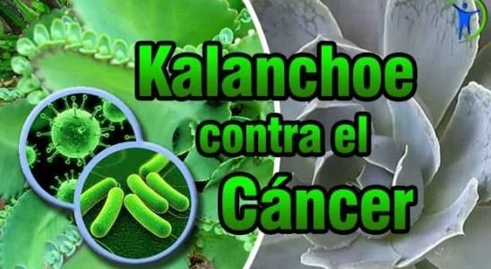 propiedades medicinales del kalanchoe contra el cáncer