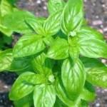 Albahaca: Propiedades Medicinales