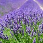 3 Plantas Medicinales para Dejar de Roncar