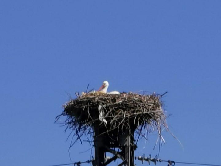 Salussola ha il primato di Comune del nord Piemonte con il maggior numero di nidi di cicogna