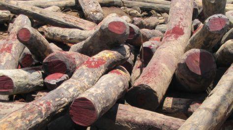 Madera de palisandro talada ilegalmente en Madagascar