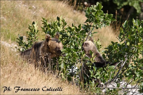 Orsi si alimentano su ramno a fine estate - Bears while feeding on the alpine buckthorn at the end of summer