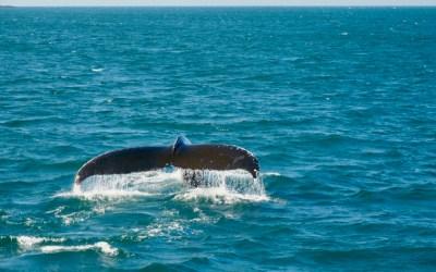 Als Abschiedsgeschenk von Nova Scotia Walbeobachtungen