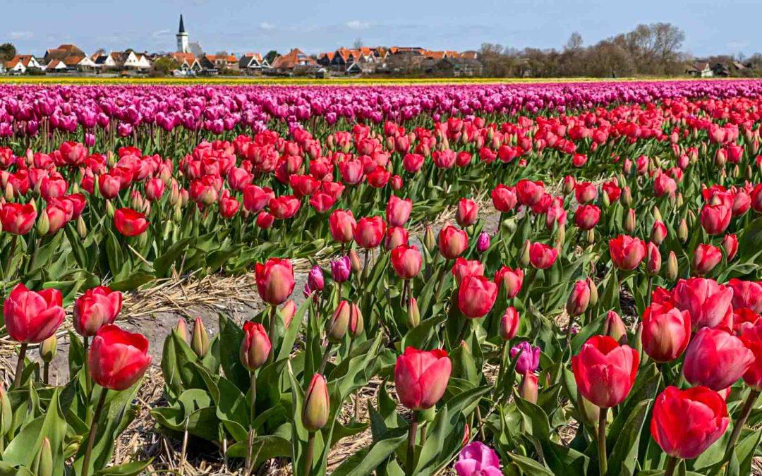 Tulpenblüte auf Texel