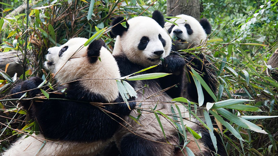 Chinese Panda Breeding Centre Is A Ray Of Hope In The Land Of Animal Cruelty.
