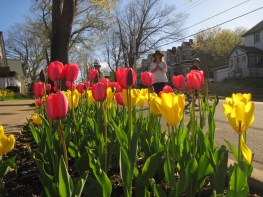 Tulips on Tulip Street