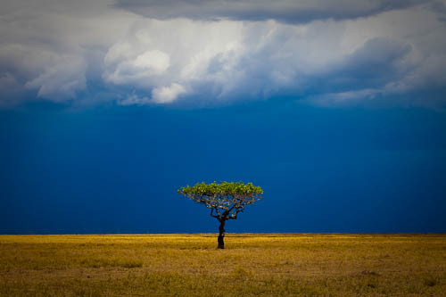 African Mama Tree in Storm, Serengeti National Park, Tanzania