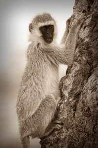 Black Faced Vervet Monkey - Serengeti National Park, Tanzania, East Africa