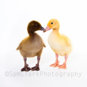 PETOGRAPHY - Ducks in Love