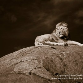 Lion on rock outlook – Number 2/100