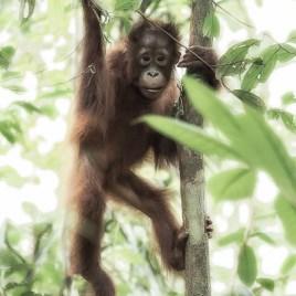 OB 2017-05 Borneo