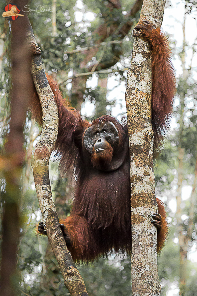 People of the Forest; The Orangutan.