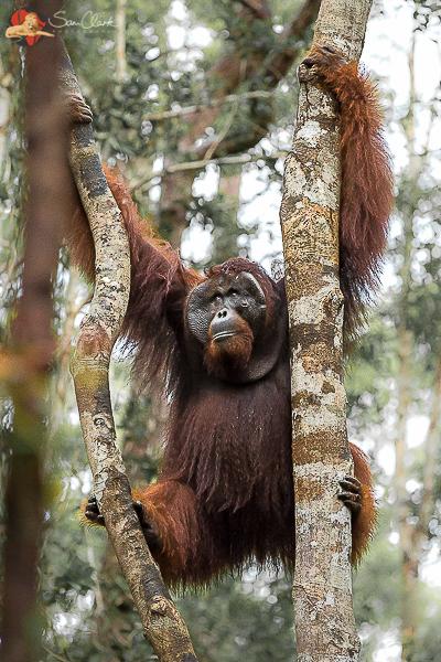 OB 2017-07 Borneo WINNER 'Remembering Great Apes' Book 2018