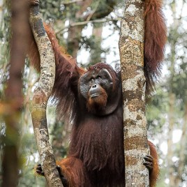 OB 2017-07 Borneo WINNER 'Remembering Great Apes' Book 2018